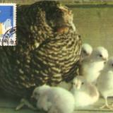 Timbre Romania - Ilustrata maxima, fauna, pui de gaina