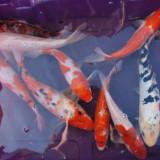 Vand crapi koi - Specii pesti