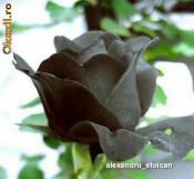 Seminte de trandafir, culoare NEGRU foto