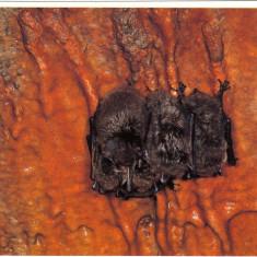 Carte postala tematica - Carte postala ilustrata FAUNA - Animale salbatice - insectivore - liliac (Myotis daubentonii )