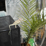 Animale - Cameleon cu creasta (veiled chameleon)