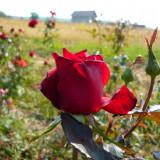 Vand pomi fructiferi si butasi trandafiri pt infintare plantatie profesionista pt flori taiate, Rosii