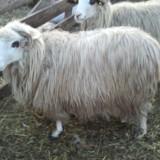 Vand o 100 de oii frumoase - Oi/capre