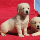 Caine, Golden Retriever - Pui golden retriever de exceptie, cu pedigree