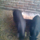 Purcei Vietnamezi - Rase porci