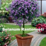 Plante ornamentale - Arbusti Solanum Rantonneti