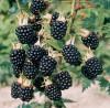 MUR FARA SPINI - Rubus hirtus Thornfree