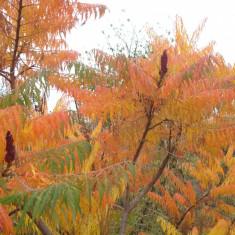 Plante ornamentale - OTETAR ( Rhus typhina ) - 80 - 140 cm ( cititi descrierea, va rog ! ) *