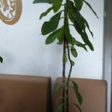 Arbore de cauciuc - planta de apartament