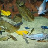 VAND CICLIDE AFRICANE PACHET 40 PUI - Specii pesti, Cichlidae