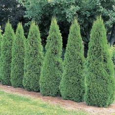 TUIA SMARAGD - Thuja occidentalis Smaragd- 8 lei