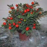 Solanum capsicastrum seminte