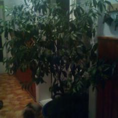 Pomi fructiferi - Mandarin