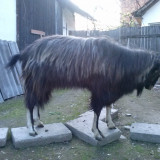Oi/capre - Tap 2 ani