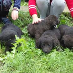 Caine, Labrador Retriever, Mascul - Metis de labrador