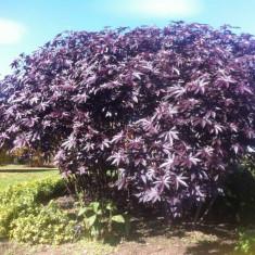 Ricin violet australian - 2 seminte pentru semanat