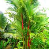 Seminte rare de Cyrtostachys renda - Palmier rosu - 2 seminte pentru semanat
