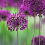 BULBI DE CEAPA DECORATIVA (ALLIUM) - PURPLE SENSATION 10/12