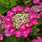Plante ornamentale - Hydrangea macrophylla Fasan – Hortensie Fasan