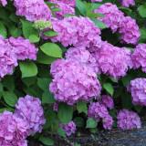 Plante ornamentale - Hydrangea macrophylla Gerda Steiniger – Hortensie