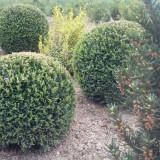 Plante ornamentale - Buxus sempervirens, cimsir globular