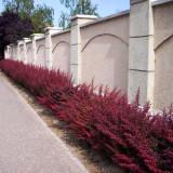 Plante ornamentale - Berberis