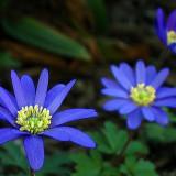 Flori - Seminte de Cosmos amestec toate culorile- 8 seminte pt semanat