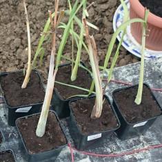 Lemongrass - Cymbopogon citratus - Planta rasad in ghiveci de 8cm
