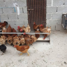 Gaini tinere pentru oua - Pasari de curte